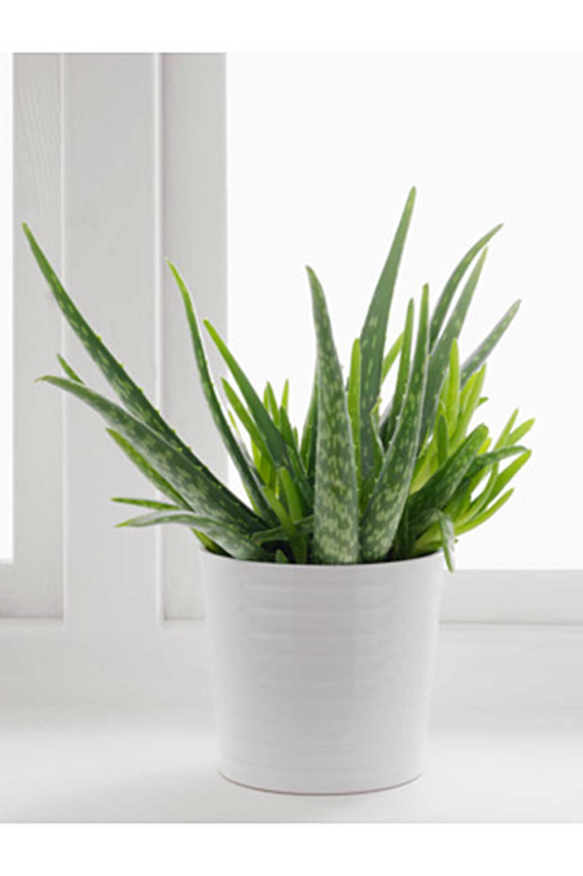 Aloe Vera Plant Care The Ultimate Guide For How To Grow: A Complete Guide On The Best Indoor Plants