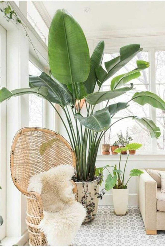 large coastal indoor plant in living room