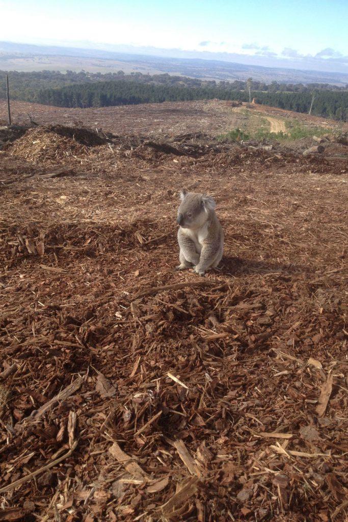 sustainable koala